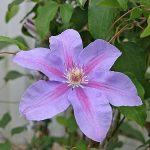 'Etoile de Malicorne' - Tidiga Storblommiga Gruppen