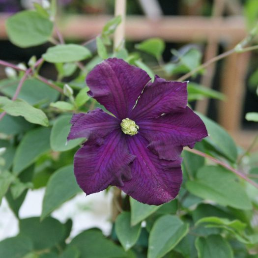 'Etoile Violette'