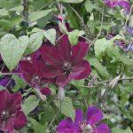 'Gipsy Queen' - Sena Storblommiga Gruppen