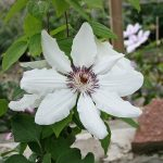 'James Mason' - Tidiga Storblommiga Gruppen