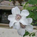 'Janina' - Tidiga Storblommiga Gruppen