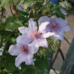 'Marmori' - Sena Storblommiga Gruppen