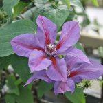 'Mrs N. Thompson' - Tidiga Storblommiga Gruppen