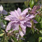 'Mrs Spencer Castle' - Tidiga Storblommiga Gruppen
