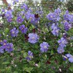 'Perle d'Azur' - Sena Storblommiga Gruppen