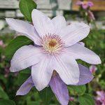 'Peveril Pearl' - Tidiga Storblommiga Gruppen