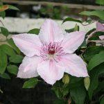 'Pink Fantasy' - Sena Storblommiga Gruppen