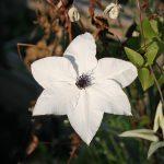 PISTACHIO - Tidiga Storblommiga Gruppen
