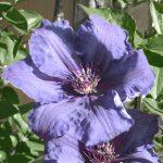 'Satsukibare' - Tidiga Storblommiga Gruppen