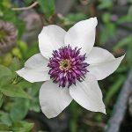 'Sieboldii' - Tidiga Storblommiga Gruppen