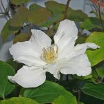 'Sylvia Denny' - Tidiga Storblommiga Gruppen