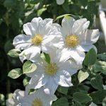 'Toki' - Tidiga Storblommiga Gruppen