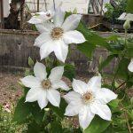 'Valge Daam' - Tidiga Storblommiga Gruppen