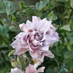 'Violet Elizabeth' - Tidiga Storblommiga Gruppen
