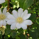 WADA'S PRIMROSE - Tidiga Storblommiga Gruppen