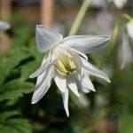 'White Moth' - Atragene-Gruppen