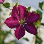 'Whoopi' - Tidiga Storblommiga Gruppen
