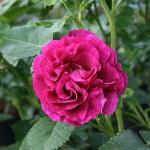 ADAM'S ROSE - Floribunda-Gruppen