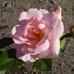 ASTRID LINDGREN - Floribunda-Gruppen