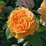 BERNSTEIN-ROSE - Floribunda-Gruppen