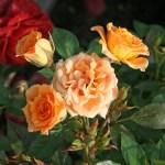 CLEMENTINE - Floribunda-Gruppen