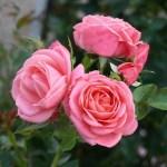 COSMOS - Courtyardros - Storblommiga Klätterros-Gruppen