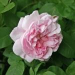 'Fantin-Latour' - Centifolia-Gruppen