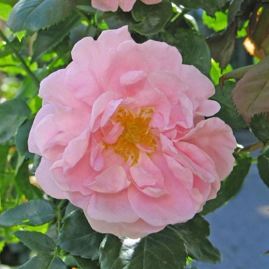'Gerbe Rose'