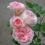 GIARDINA - Storblommiga Klätterros-Gruppen