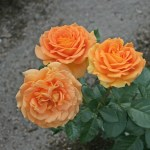 GOLDELSE - Floribunda-Gruppen