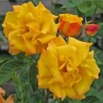 GOLDMARIE - Floribunda-Gruppen
