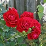 GRAND AWARD - Courtyardros - Storblommiga Klätterros-Gruppen