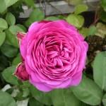 HEIDI KLUM ROSE - Floribunda-Gruppen