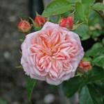PIROUETTE - Courtyardros - Storblommiga Klätterros-Gruppen