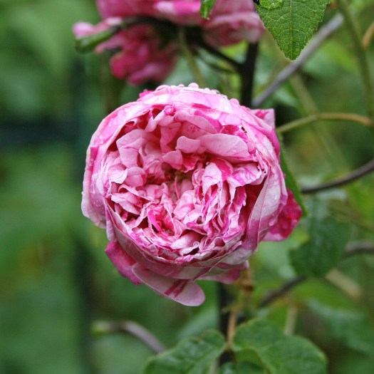 'Belle des Jardins'