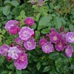 PURPLE SKYLINER - Storblommiga Klätterros-Gruppen
