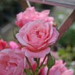 'Queen Elizabeth' - Grandiflora-Gruppen