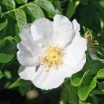 Rosa rugosa 'Alba' - Vildros - Vresros