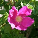 Rosa rugosa 'Rosea' - Vildros - Vresros