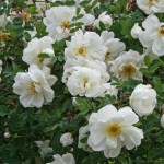 Rosa spinossissima 'Plena' - Vildros - Finlands vita ros