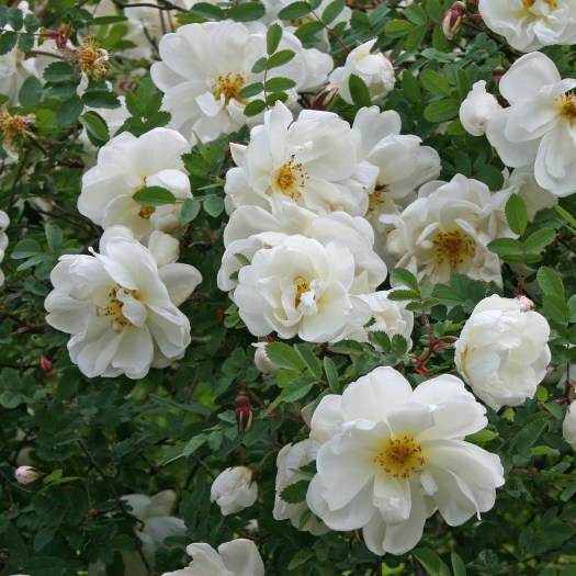 Rosa spinossissima 'Plena'