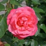 ROSANNA - Storblommiga Klätterros-Gruppen