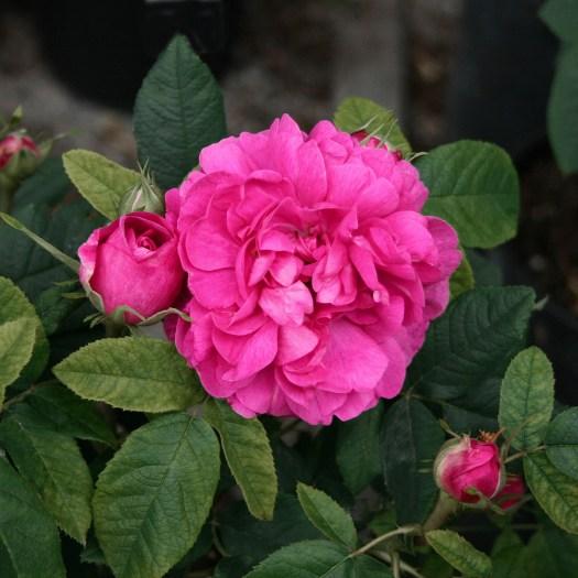 'Rose du Roi'
