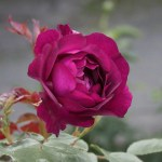 ROYAL CELEBRATION - Floribunda-Gruppen