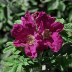 'Rugspin' - Rugosa-Gruppen