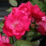 'Rödhätte' - Floribunda-Gruppen