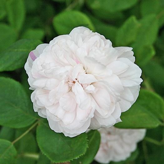 'Shailer's White Moss'
