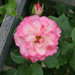 STRAWBERRY ICE - Floribunda-Gruppen