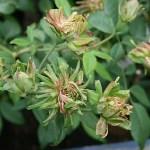 'Viridiflora' - Chinensis-Gruppen