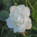 'White New Dawn' - Storblommiga Klätterros-Gruppen
